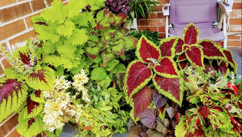 First Time Home Buyer Coleus Display 2017